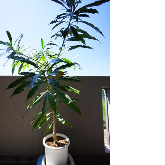 観葉植物:ケルベラ