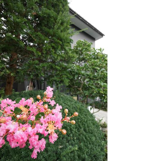 実家の裏庭にある百日紅の花
