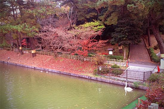 公園の池にいる白鳥の写真
