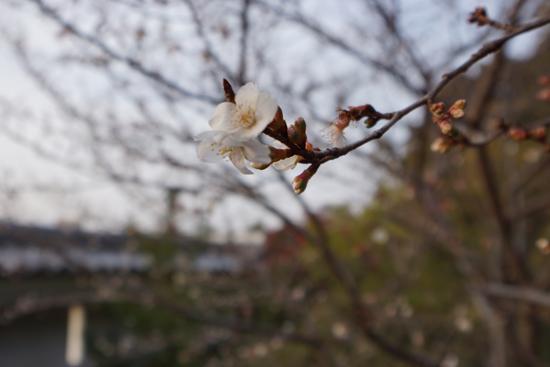 冬に咲いていた桜の花