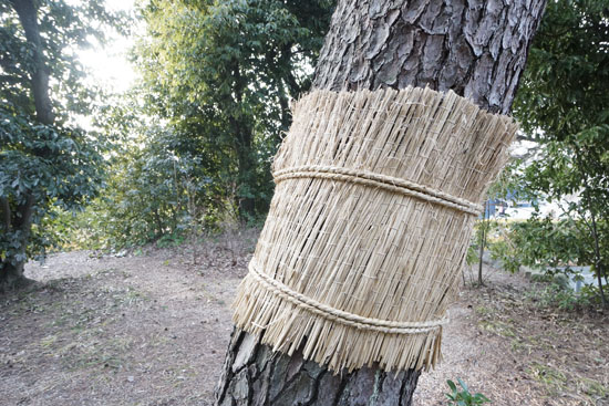 幹にこも巻きされた松の写真