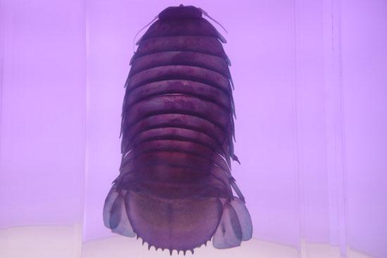 沼津港深海水族館に展示されているダイオウグソクムシの標本
