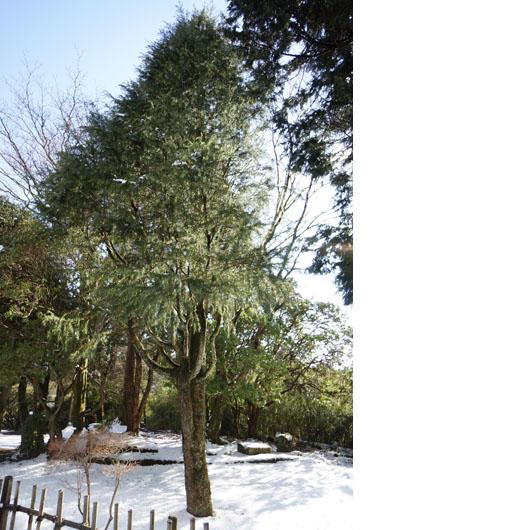 雪の中のヒマラヤ杉