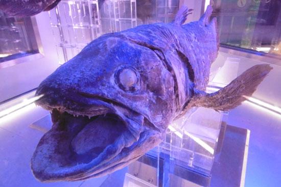 沼津港深海水族館に展示されているシーラカンスの冷凍標本
