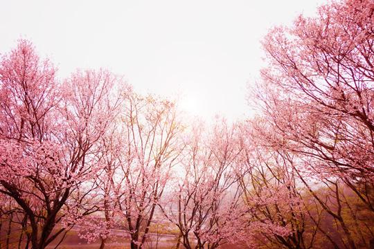 岡崎市中央総合公園の桜