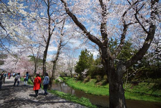 忍野の川沿いにある桜並木
