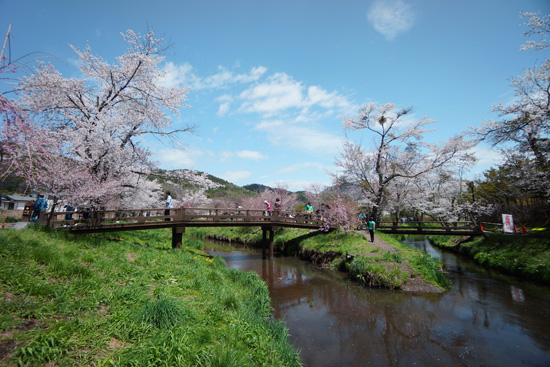 忍野の川沿いにある桜並木と橋