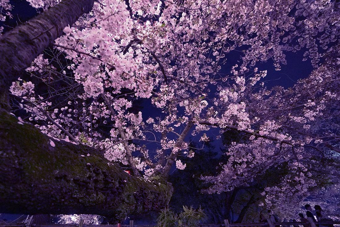 岡崎公園の夜桜の画像