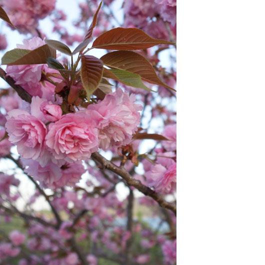 サエザクラの花