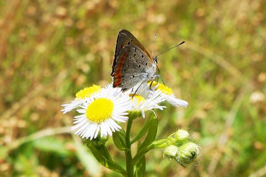 ヒメジョオンの花にとまって蜜を吸っているベニシジミ