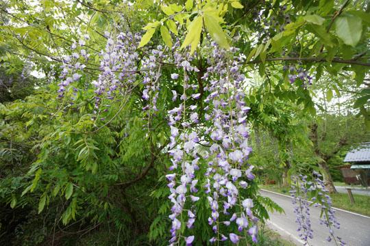 中津川市のフジの花
