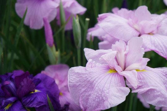 東公園の菖蒲:華紫