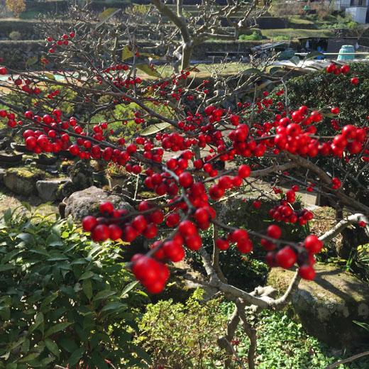 赤い実のナンテンの木の画像