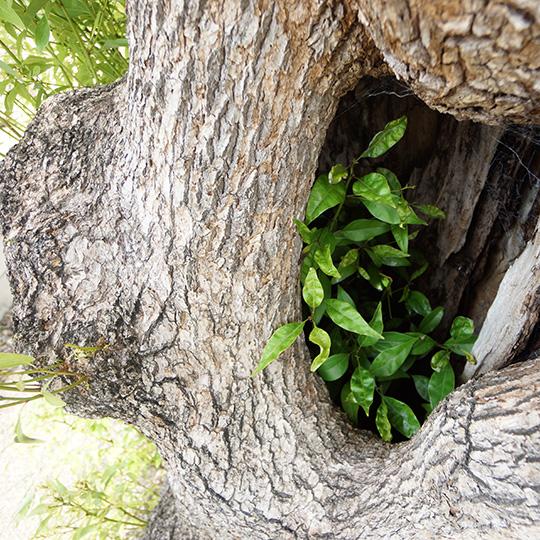 大きな木のウロの写真