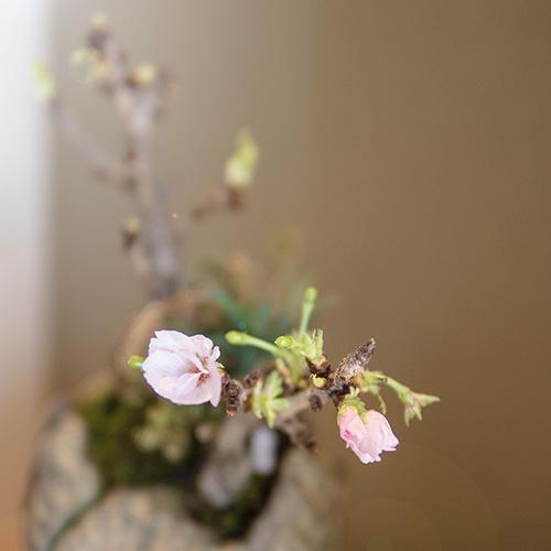 桜の盆栽の写真